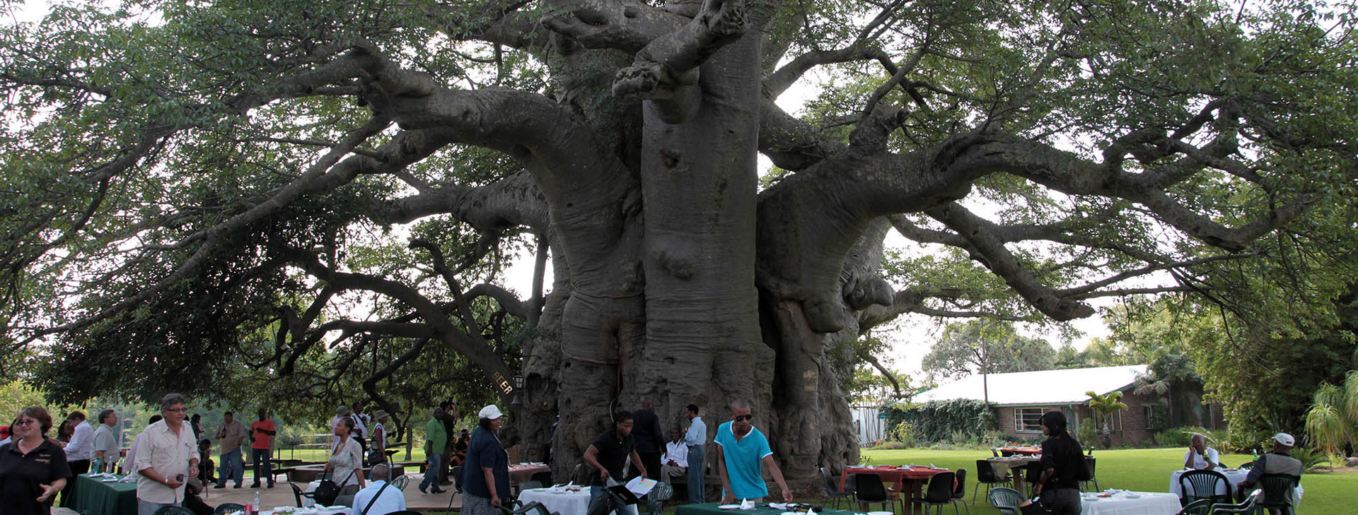 The Sunland Baobab, near the sub-tropical town of Tzaneen, is the country's largest baobab in South Africa