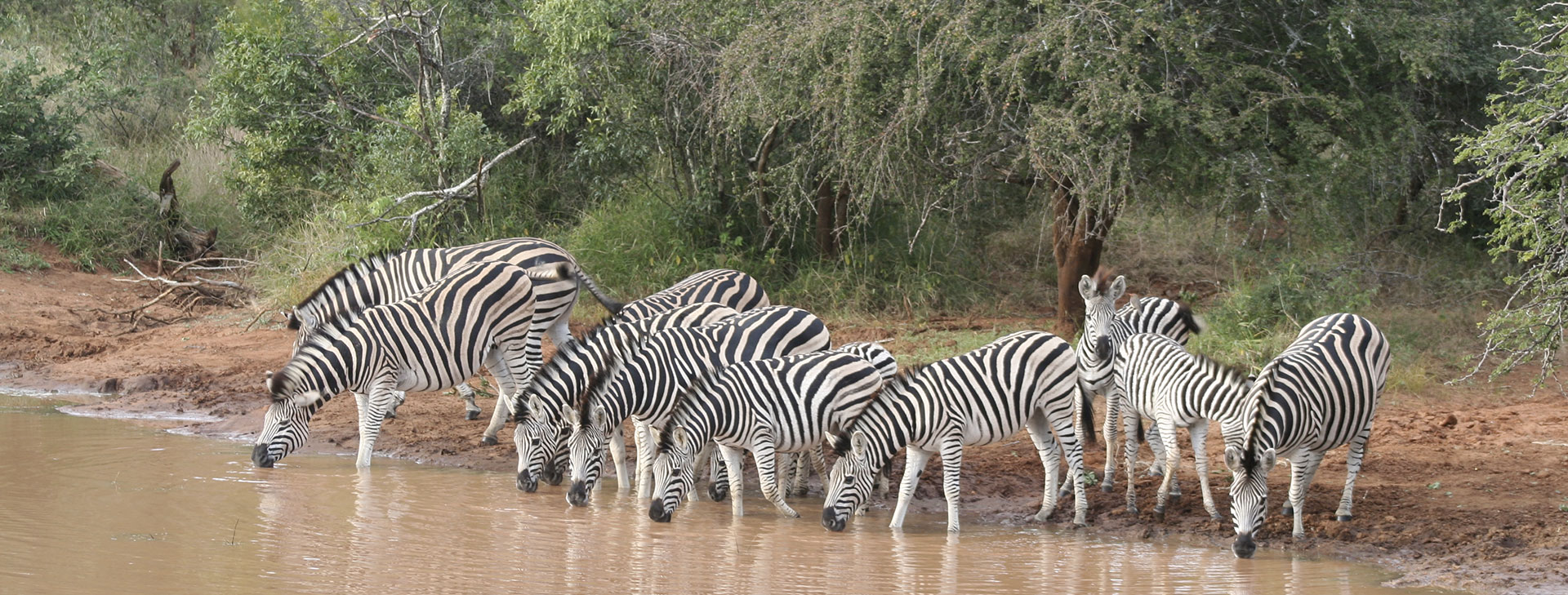 Zebras are common in South Africa's Kruger National Park